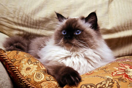 Persian Himalayan Cat laying on gold pillow looking up