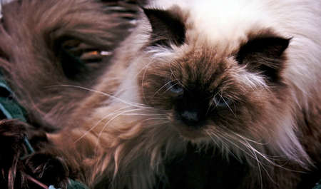Persian Himalayan Cat waking up in basket