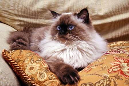 Persian Himalayan Cat laying on gold pillow looking off to side