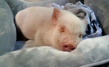 Baby Pig Sleeping