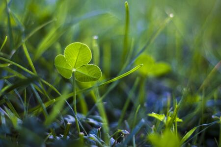 sour clover: green clover closeup