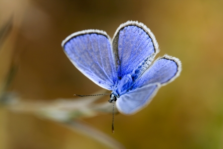 blue butterfly in close