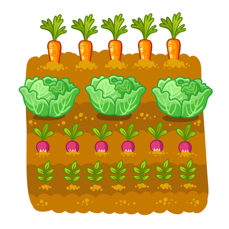 Gemüsegarten. Vektor-Illustration mit Kohl und Rettich. Landwirtschaftlicher Anbau im Land.