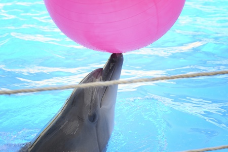 dolphinarium: dolphin playing with ball in dolphinarium.