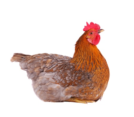Brown hen isolated on white, studio shot. photo