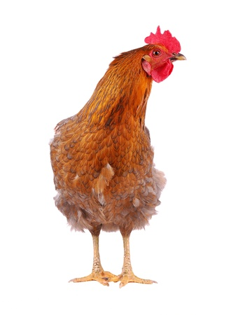 Hen looking at camera isolated on white, studio shot.