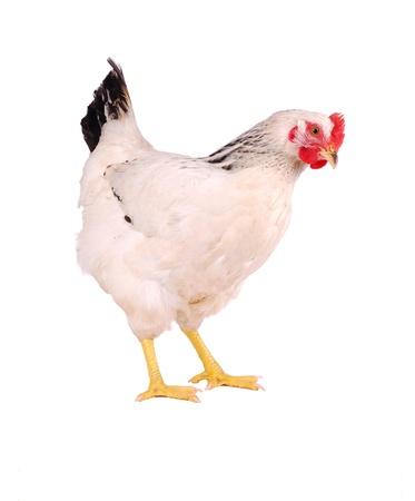 White hen isolated on white, studio shot. Imagens