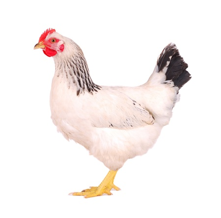 hens: White hen isolated on white, studio shot. Stock Photo
