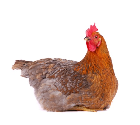 Brown hen isolated on white, studio shot.