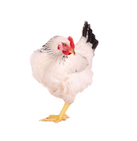 White hen isolated on white, studio shot. Stock Photo