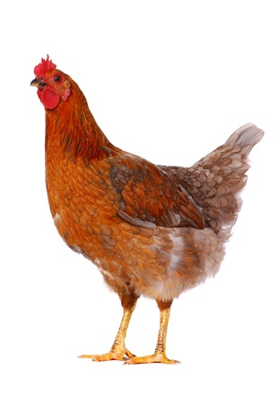 Brown hen isolated on white, studio shot.