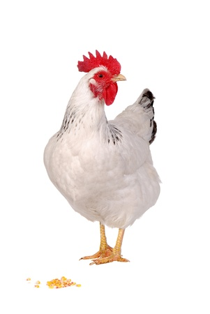 White hen isolated, studio shot. Imagens - 12423634
