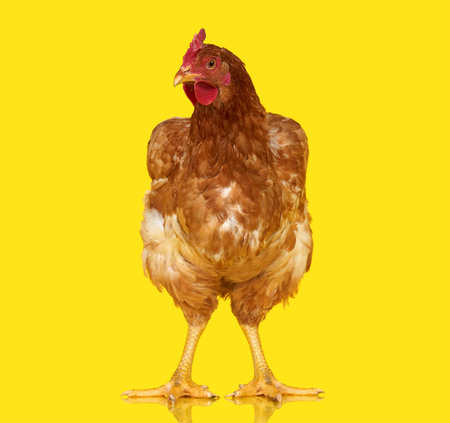 Chicken posing on yellow background isolated, one closeup animal