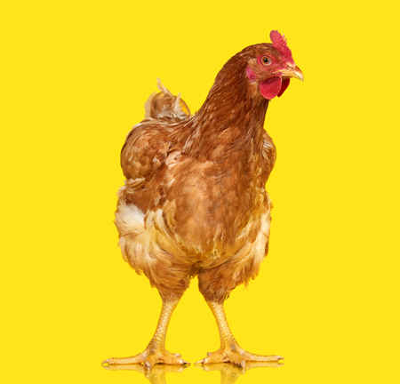 one animal: Chicken on yellow background isolated, one closeup animal