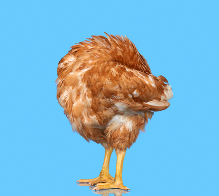 one animal: Chicken on blue background isolated, hiding the head under the wing, one closeup animal Stock Photo