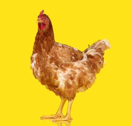 Chicken on yellow background isolated, one closeup animal