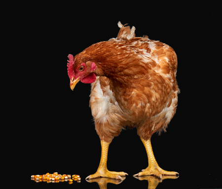 Chicken with corn seed on black background isolated, one closeup animal Stock Photo