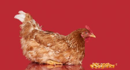 red animal: Chicken on red background side view, isolated object, one closeup animal