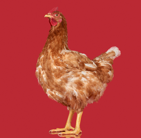 red animal: Chicken on red background, isolated object, one closeup animal