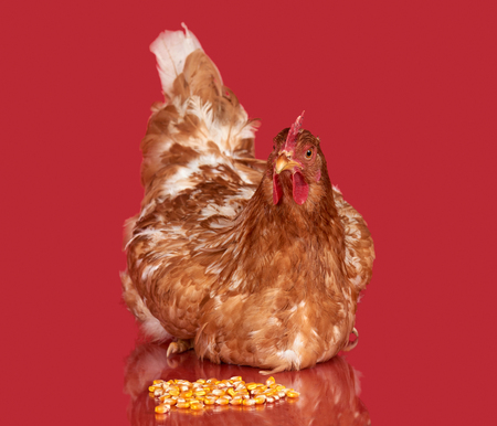 red animal: Chicken with corn seed on red background, isolated object, one closeup animal