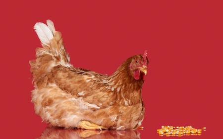 Chicken on red background, isolated object, one closeup animal Imagens - 77002098