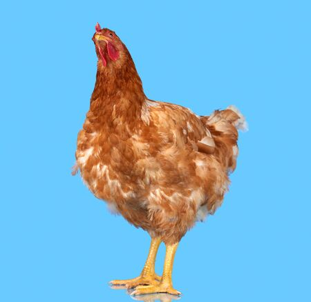 Chicken on blue background, isolated object, one closeup animal