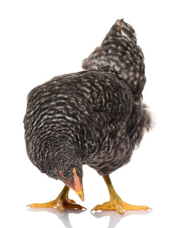 one black chicken isolated on white background, studio shoot