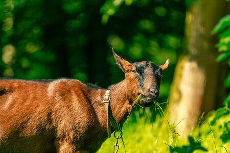 Brown goat eating grass looking into the camera on a sunny day. Outdoor museum Bokrijk, Flanders, Belgium, Europe. Stock Photo