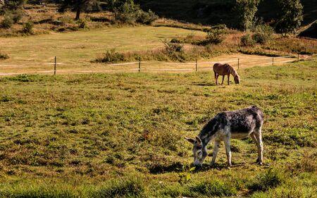 Grauer Esel und braunes Pony grasen an einem sonnigen Tag im Sommer auf der Weide im Schweizer Alpendorf Zinal, Wallis, Schweiz