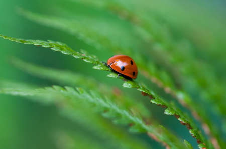 a tiny ladybird on grass on green background