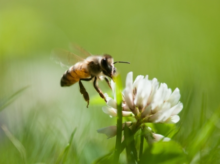 miel de abeja: abeja en hierba