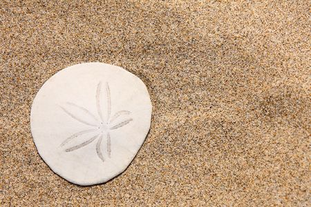 Close up of beautiful white sand dollar on the beach
