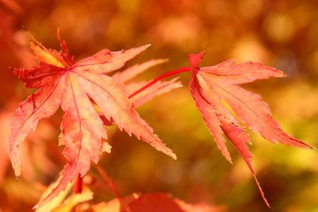 Red and gold autumn leaves changing color