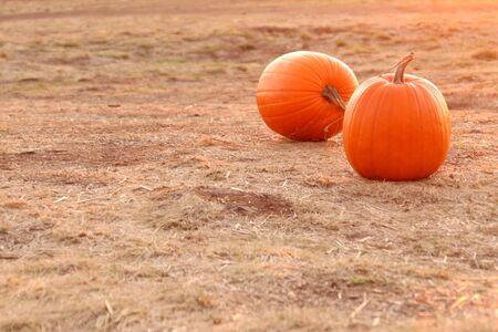 Two round orange pumpkins in a field Stock Photo