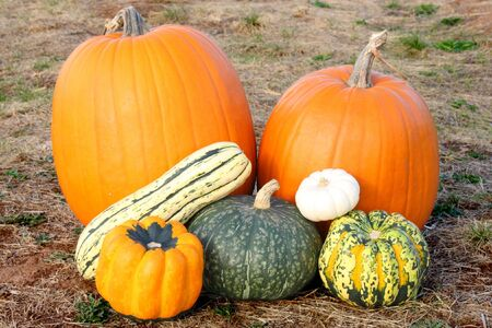 Birght orange and green pumpkins and squash in field on an autumn day Stock Photo