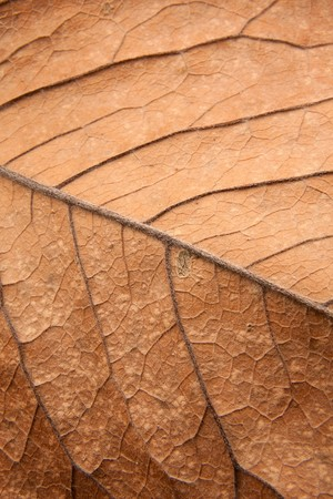 Close up background texture of brown leaf with veins