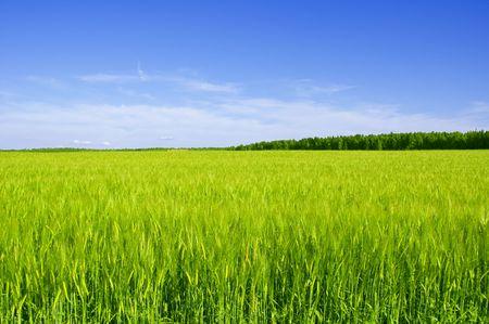 El campo con espigas de trigo día de verano