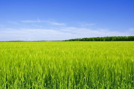 The field with ears of wheat summer day Stock Photo