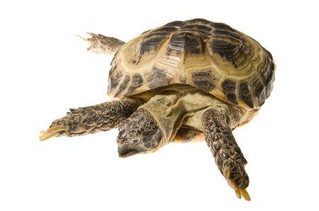 land turtle: Land turtle isolated on white background
