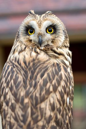 owl portrait photo