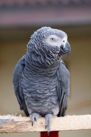 loro: Psittacus erithacus. Loro gris africano