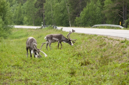 reindeer in its natural environment on north of scandinavia  Stock Photo - 14644185