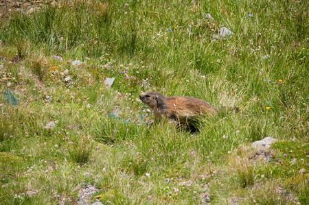 Funny beautiful marmot at Alps