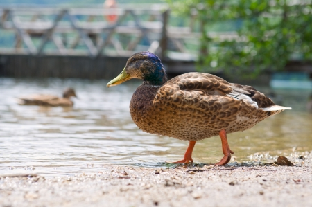 Portrait of little duck on the water  Stock Photo