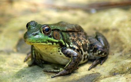 bull frog sitting on a stone near a pond