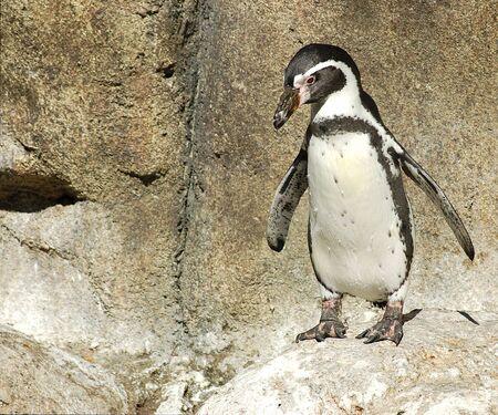 waddling: Penguin waddling on the rocks at the Denver Zoo