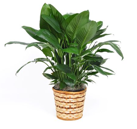 houseplant: Houseplant on a white background