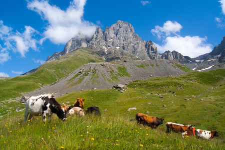 Cows grazing on a mountain in the valley against the backdrop of beautiful mountains Фото со стока - 37198287