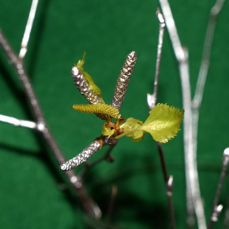 birch branch, covered with silver on a green background Stock Photo