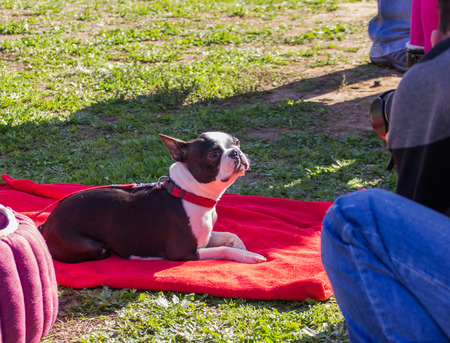 french model: French bulldog posing as a model for a photographer at the exhibition Stock Photo